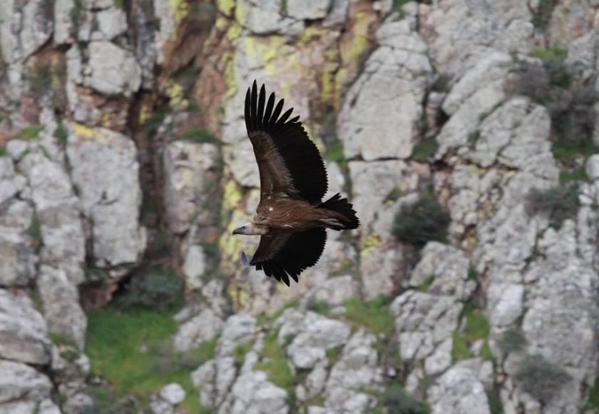 griffon vulture in mallorca